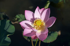 Blossom pink lotus flower Stock Photography