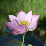 Blossom pink lotus flower Stock Photos