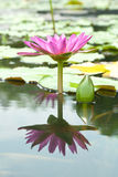 Blossom Pink Lotus Flower Royalty Free Stock Image
