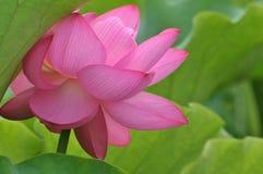Blossom pink lotus flower Stock Photos