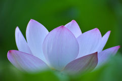 Blossom pink lotus flower Stock Image