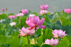 Blossom pink lotus flowers Royalty Free Stock Photos