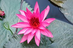 A blossom pink lotus or water lily, which is symbolic of Buddhism Royalty Free Stock Photo