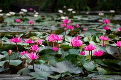 Blossom pink lotuses or water lily, which is symbolic of Buddhism Stock Photos