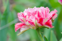 Blossom of the pink peony tulip. In the spring Royalty Free Stock Photo