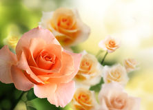 Blossom pink rose Stock Photo