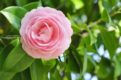 Blossom pink roses Royalty Free Stock Photo