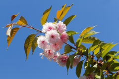 Blossom pink sakura Royalty Free Stock Images