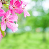 Blossom of pink sakura cherry flowers Royalty Free Stock Images