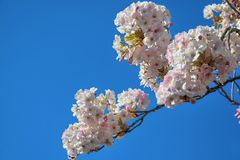 Blossom of pink sakura flowers on a spring cherry tree branch. Macro close up shot Royalty Free Stock Image