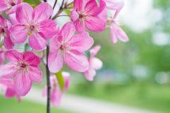 Blossom of pink sakura flowers Royalty Free Stock Image