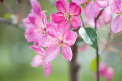 Blossom of pink sakura flowers Stock Images