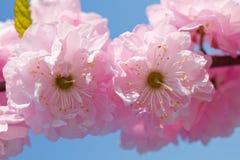 Blossom pink sakura Stock Images