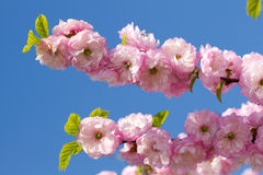 Blossom pink sakura. In sunny spring day Royalty Free Stock Photo