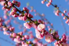 Blossom pink sakura tree Royalty Free Stock Photography