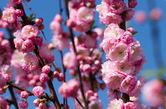 Blossom pink sakura Royalty Free Stock Photography