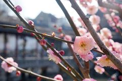 Blossom, Pink, Spring, Branch royalty free stock photo