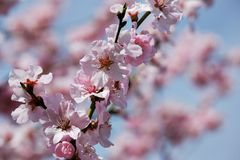 Blossom, Pink, Spring, Branch stock photo
