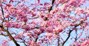 Blossom, Pink, Spring, Cherry Blossom stock photography