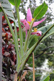 Blossom of Pink Velvet Banana, Musa velutina in the Municipal pa. Bananas grow on the south coast of Madeira. Thanks to the mild climate, grow here rare Royalty Free Stock Image