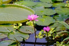 Blossom pink water lilies royalty free stock images