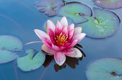 Blossom pink water lily in the pond. Blossom pink water lily in a pond surrounded by green leaves Royalty Free Stock Photography