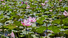 Blossom pink water lotus. Pink water Lily. Royalty Free Stock Images