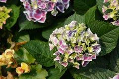 Hydrangea macrophylla flower. Blossom of pink yellow Hydrangea macrophylla flower Royalty Free Stock Photos