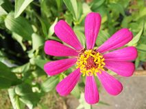 Blossom pink Zinnia flowe. R and blurred green leaves background Royalty Free Stock Photography