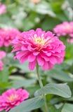 Blossom Pink Zinnia. Royalty Free Stock Photography