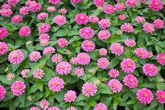 Blossom Pink Zinnia. Stock Photography