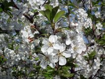Blossom, Plant, Spring, Flora royalty free stock photography