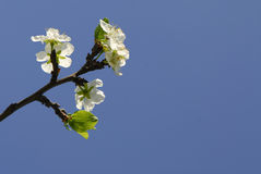 Blossom on plum tree Royalty Free Stock Photos