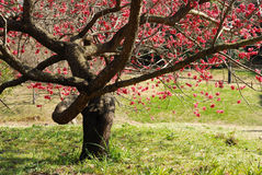 Blossom plum tree stock photography