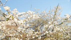 Blossom plum tree  branch. Slow motion, camera pan. stock video
