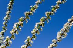 Blossom of plum tree. Stock Photo