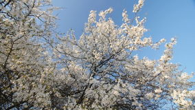 Blossom plum tree by spring. Slow motion, Wide angle low point of view. Bright blue sky. stock video
