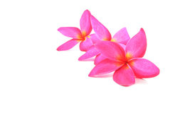 Blossom of Plumeria flower, tropical flower isolated on white background Stock Photos