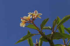 Blossom of plumeria tree. Over blue sky Royalty Free Stock Photos