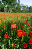 Blossom poppies #4. Field of blossom poppies at sunset Stock Photo