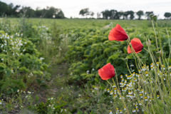 Blossom poppies by a farmers field. Closeup of some blossom red poppies by a farmers green field with strawberry plants Stock Image