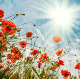 Blossom poppies flowers on blue sky background Stock Photos