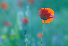 Blossom poppy flowers on the meadow Stock Images