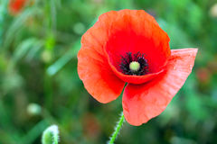 Blossom poppy flowers Stock Images