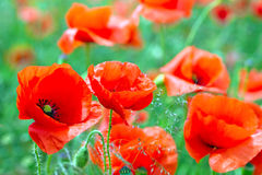 Blossom poppy flowers Royalty Free Stock Images