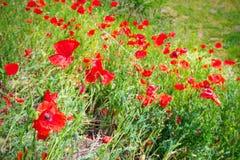 Blossom poppy flowers Stock Image
