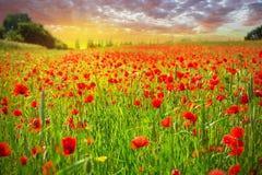 Blossom poppy flowers Stock Images