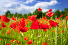Blossom poppy flowers Stock Photo