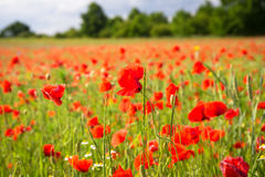 Blossom poppy flowers Stock Photography