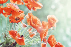 Blossom poppy Royalty Free Stock Image